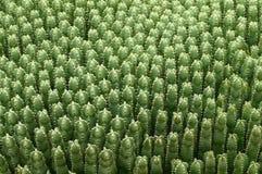 Fond vert de cactus Photographie stock