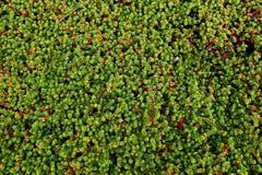 Fond vert de crowberry Images stock