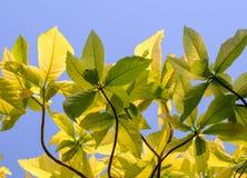 Fond vert de feuille avec le ciel bleu Images stock