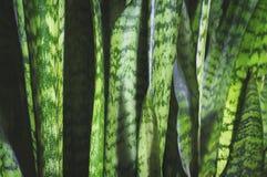 Fond vert de feuille de Sansevieria images libres de droits