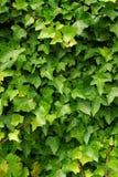 Fond vert de lierre Photographie stock libre de droits
