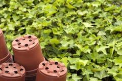 Fond vert de lierre dans une pépinière photo stock