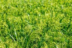 Fond vert de millet d'usine de champ de prévision Image stock
