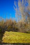 Fond vert de modèle de texture de récolte de canne de rivière Photos stock
