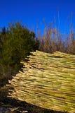 Fond vert de modèle de texture de récolte de canne de rivière Images libres de droits