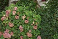 Fond vert de mur avec les feuilles et l'hortensia Photo stock