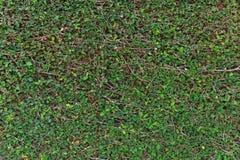 Fond vert de mur de feuille Photos stock