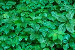 Fond vert de plante grimpante Photos stock