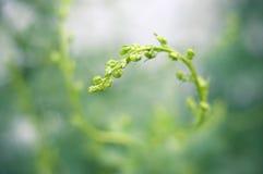 Fond vert de pousse de liseron Images stock