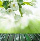 Fond vert de ressort avec les fleurs blanches Image libre de droits