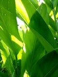 Fond vert de texture de lame Photos libres de droits