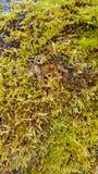 Fond vert de texture de mousse Photos libres de droits