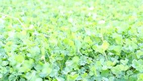 Fond vert de trèfle sur le vent clips vidéos
