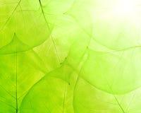 Fond vert des feuilles minces Photographie stock