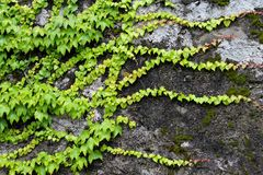 Fond vert des lames de lierre Image stock