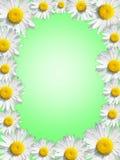 Fond vert encadré par les marguerites blanches Photographie stock libre de droits