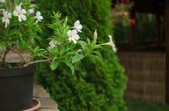 Fond vert et blanc Fleur dans un pot dans le jardin beaut Photo stock