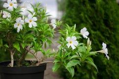 Fond vert et blanc Fleur dans un pot dans le jardin beaut Photographie stock libre de droits