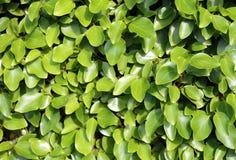 Fond vert feuillu frais Images stock