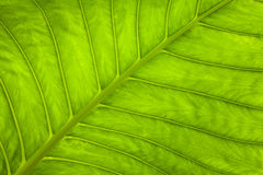 Fond vert frais de nature de feuille Photographie stock