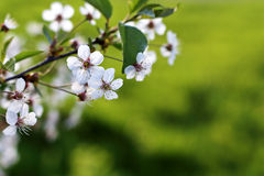 Fond vert frais de ressort Cherry Blossom horizontal avec c photographie stock libre de droits