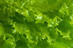 Fond frais de salade de laitue Images libres de droits
