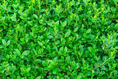 Fond vert intense, beaucoup de feuille image stock