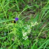 Fond vert naturel d'herbe avec le bourdon recueillant le nectar de la fleur d'été Concept des saisons, écologie, verte Image stock