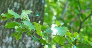 Fond vert normal La feuille sur le fond de bokeh avec len la fusée banque de vidéos