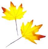 Fond vibrant de lame d'automne Photos libres de droits