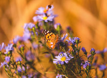 Fond vibrant naturel avec le papillon peint de dame Photos libres de droits