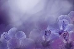 Fond violet-bleu floral d'une ketmie Fleurit la composition Fleurs roses de Chinois sur un fond pourpre Image stock