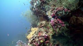 Fondale marino stupefacente subacqueo bianco e rosa del corallo molle dell'albero delicatamente in Maldive archivi video