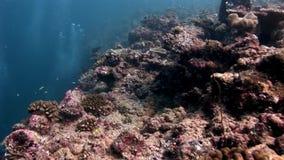 Fondale marino stupefacente subacqueo della barriera corallina in Maldive stock footage
