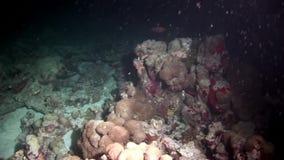 Fondale marino stupefacente subacqueo di corallo duro in Maldive video d archivio