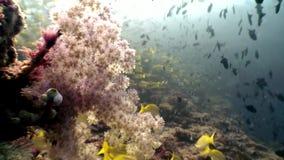 Fondale marino stupefacente subacqueo di corallo molle dell'albero in Maldive stock footage