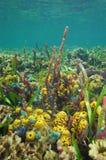 Fondale marino subacqueo variopinto di vita del mar dei Caraibi Fotografia Stock Libera da Diritti