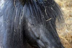 Fondle Shetland Pony Closeup Hand royalty free stock photo