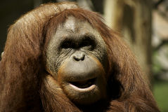 Fondness Orangutan Stock Photo
