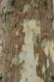Fondo abigarrado o textura, primer de la corteza y del tronco de árbol del sicómoro Foto de archivo