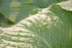 Fondo abstracto con descensos del agua de lluvia en las hojas verdes grandes de la planta Fotos de archivo libres de regalías