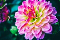 Fondo abstracto de flores Primer verde amarillo rosado de Asia brillante imágenes de archivo libres de regalías