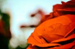 Fondo abstracto de flores Rojo de la rosa del primer imagenes de archivo