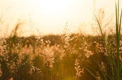Fondo abstracto de la naturaleza con la hierba floreciente en el prado Imagen de archivo libre de regalías