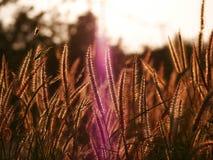 Fondo abstracto de la naturaleza del verano con la hierba en el prado y la puesta del sol en la parte posterior Foto de archivo libre de regalías