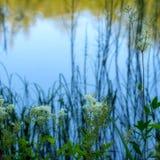 Fondo abstracto de la naturaleza, plantas en la orilla del lago con la reflexión Incluye el meadowsweet, ulmaria de Filipendula fotos de archivo libres de regalías
