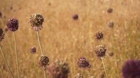 Fondo abstracto de las flores púrpuras secadas del ajo salvaje en la mosca amarilla de la hierba a través de las flores almacen de metraje de vídeo