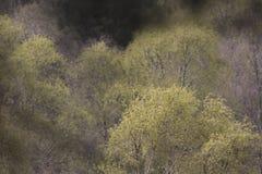 Fondo abstracto de los árboles de abedul Imagen de archivo libre de regalías