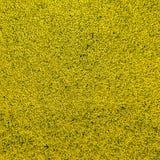 Fondo abstracto de una foto aérea de un campo floreciente amarillo del canola en una altura de 100 metros Foto de archivo libre de regalías