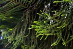 Fondo abstracto del árbol de pino de la isla de Norfolk Imagen de archivo